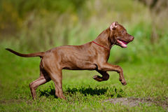 American pit bull terrier puppy running. Chocolate american pit bull terrier Stock Photos