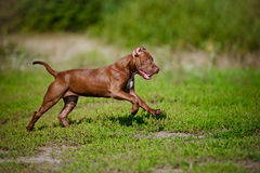 American pit bull terrier puppy running Royalty Free Stock Photo