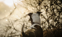 American Pit Bull Terrier puppy. Standing at water edge stock images