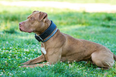 American Pit Bull Terrier Royalty Free Stock Photography