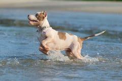 American pit bull terrier Stock Photo