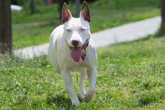 American pit bull terrier running. American pit bull terrier with blue eyes running Royalty Free Stock Photos