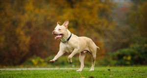 American Pit Bull Terrier running. Through grass field surrounded by trees with big smile Stock Photography