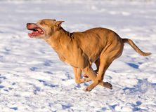 American Pit Bull Terrier running in snow. Dog breed American Pit Bull Terrier running in snow Royalty Free Stock Image