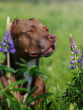 American Pit Bull Terrier. Sitting in a field with flowers Royalty Free Stock Photo