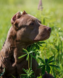 American Pit Bull Terrier. Sitting in a field with flowers Royalty Free Stock Photography