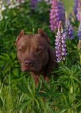 American Pit Bull Terrier. Sitting in a field with flowers Royalty Free Stock Photos
