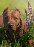 American Pit Bull Terrier. Sitting in a field with flowers Stock Images