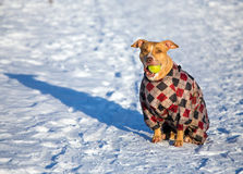 American Pit Bull Terrier sitting in snow with a ball in its mou. Dog breed American Pit Bull Terrier sitting in snow with a ball in its mouth Royalty Free Stock Images