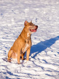 American Pit Bull Terrier in snow Stock Image