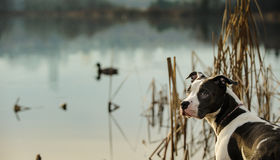 American Pit Bull Terrier. Spotted American Pit Bull Terrier by pond with ducks royalty free stock image