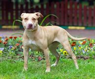 American Pit Bull Terrier standing. Outdoor Portrait standing American Pit Bull Terrier Royalty Free Stock Image