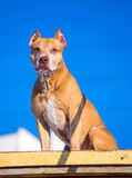 American Pit Bull Terrier on training ground for dogs. American Pit Bull Terrier on the training ground for dogs Royalty Free Stock Photos