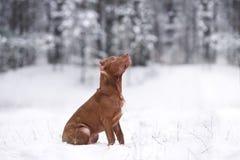 American Pit Bull Terrier-Welpe draußen im Winter lizenzfreies stockfoto