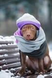 American Pit Bull Terrier-Welpe in einem Hut und in einem Schal draußen im Winter stockbilder