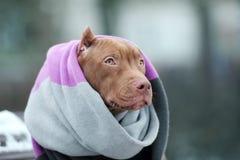 American Pit Bull Terrier-Welpe in einem Schal draußen im Winter lizenzfreie stockbilder