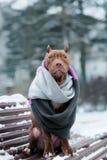 American Pit Bull Terrier-Welpe in einem Schal draußen im Winter Lizenzfreies Stockbild