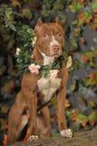 American Pit Bull Terrier Stock Image