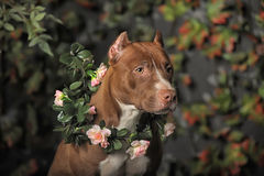 American Pit Bull Terrier. With a wreath of flowers around his neck Stock Photos
