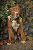 American Pit Bull Terrier Royalty Free Stock Images