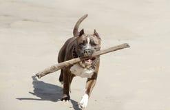 American pitbull. Royalty Free Stock Image