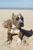 American pitbull. American pitbull on the beach Stock Images