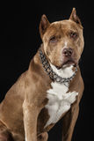 American Pitbull Champion Royalty Free Stock Photography