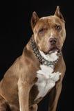 American Pitbull Champion. Beautiful Pet Royalty Free Stock Photography
