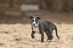 American Pitbull. Four months American Pitbull playing on the beach stock images