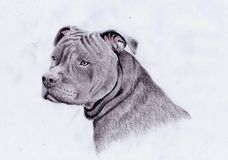 American pitbull. Hand draw colored pencils Stock Photos