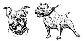 American pitbull illustration Royalty Free Stock Images