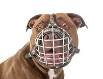 American pitbull and muzzle. Pitbull red nose in front of white background royalty free stock image
