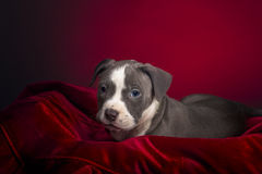 American Pitbull Puppy royalty free stock images