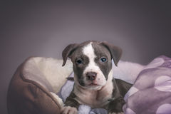 American Pitbull Puppy. Puppy of American Pitbull posing to first photo session Royalty Free Stock Image