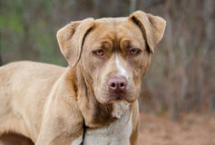 American Pitbull Terrier dog Stock Photos
