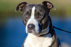 American Pitbull Terrier dog, Walton County Animal Shelter. Bluenose, Blue and white male Pit Bull Terrier dog, blue lake background, humane society adoption Stock Images