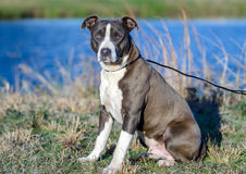 American Pitbull Terrier dog, Walton County Animal Shelter. Bluenose, Blue and white male Pit Bull Terrier dog, blue lake background, humane society adoption Royalty Free Stock Images