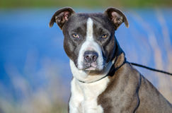 American Pitbull Terrier dog, Walton County Animal Shelter. Bluenose, Blue and white male Pit Bull Terrier dog, blue lake background, humane society adoption Royalty Free Stock Photo