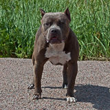 American pitbull terrier male. In portrait in sun stock images