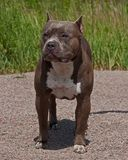 American pitbull terrier male. In portrait in sun royalty free stock photos