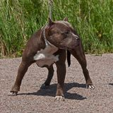 American pitbull terrier male. In portrait in sun royalty free stock photography