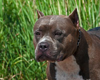 American pitbull terrier portrait of the head. American pitbull terrier male in portrait of the head in sun royalty free stock images