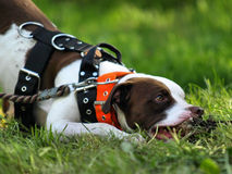 American pitbull terrier Royalty Free Stock Photography
