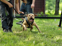 American pitbull terrier. In weight pull competition Stock Image