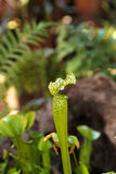 American pitcher plant, Sarracenia, is a carnivorous plant Royalty Free Stock Images