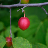 American Plum (Prunus americana) Royalty Free Stock Photos