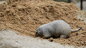 American prairie dog digging Stock Photos