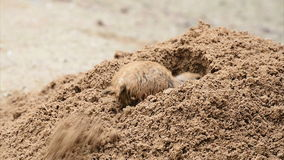 American prairie dog digging Stock Photo