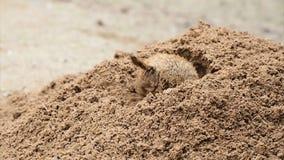 American prairie dog digging stock footage