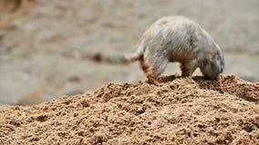 American prairie dog digging stock video